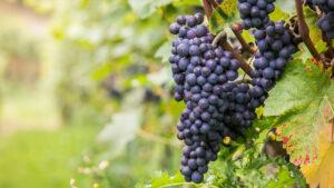 la-importancia-de-la-calidad-de-la-uva-para-un-buen-vino-1920